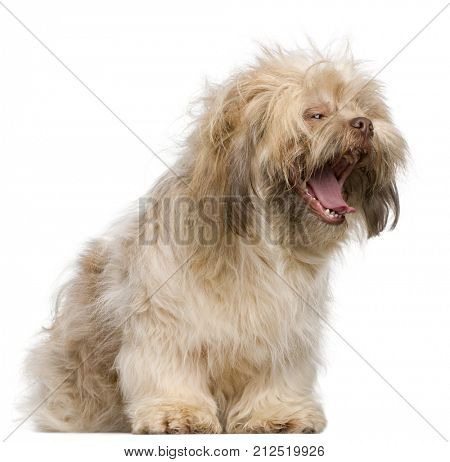 Shih Tzu dog, 3 years old, yawning in front of white background