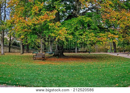 Large Beech tree (Fagus Sylvatica) in autumnal colors in Castle garden of Fulda, Hesse, Germany poster