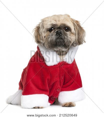 Shi-Tzu in Santa Claus suit, 3 years old, sitting in front of white background