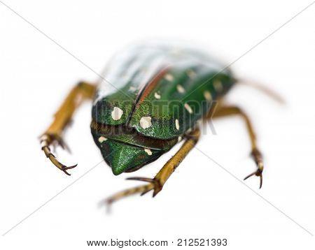 East Africa flower beetle, Stephanorrhina guttata, in front of white background, studio shot