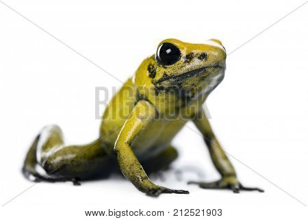 Golden Poison Frog, Phyllobates terribilis, against white background, studio shot