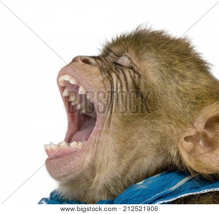 Young Barbary Macaque with mouth open, Macaca Sylvanus, 1 year old, against white background, studio shot
