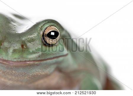Close-up of Australian Green Tree Frog, Litoria caerulea, studio shot
