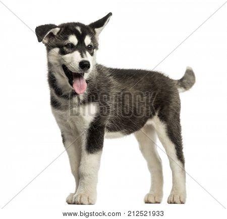 Husky malamute dog standing, panting, isolated on white
