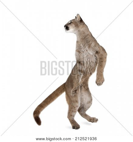 Puma cub, Puma concolor, 1 year old, standing on hind legs and looking back against white background, studio shot