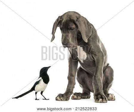 Great Dane dog sitting and looking at a magpie