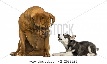 Dogue de Bordeaux, dog, sitting and looking at a Husky malamute puppy barking