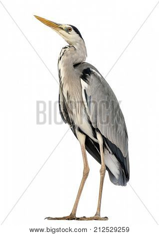 Grey Heron standing, looking up, Ardea Cinerea, 5 years old, isolated on white