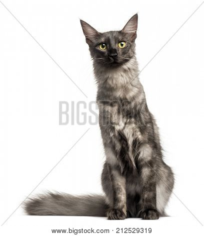 Turkish Angora sitting, looking at the camera, isolated on white