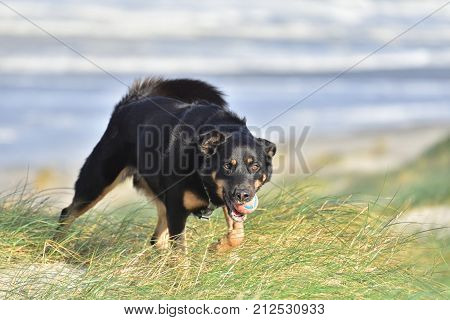 A shepherd dog walks with a bright ball in its mouth in long grass on a sand dune with a very satisfied look on its face with the sea (vaguely) visible in the background