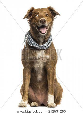 Labrador Australian Shepherd crossbreed dog, panting isolated on white