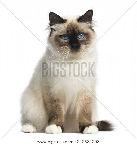 Front view of a Birman sitting, facing, looking at the camera, isolated on white
