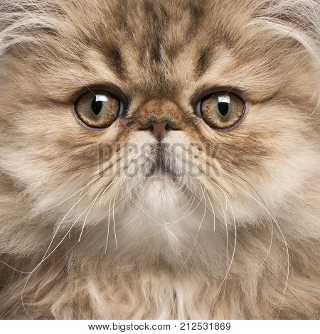 Close-up of Persian kitten, 3 months old