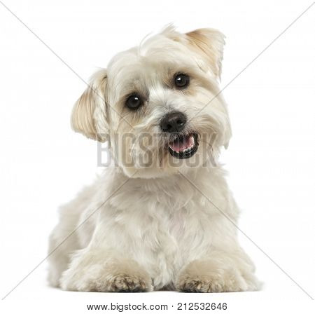 Maltese dog, lying down, panting, looking at the camera, isolated on white