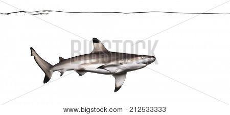 Blacktip reef shark swimming under water line, Carcharhinus melanopterus, isolated on white