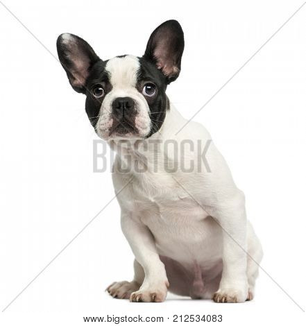 French bulldog puppy sitting, looking intimidated, 4 months old, isolated on white
