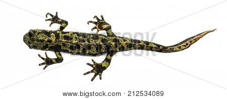 Marbled newt viewed from up high, Triturus marmoratus, isolated on white poster