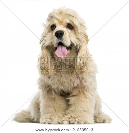 Front view of an American Cocker Spaniel puppy panting, sitting, 6 months old, isolated on white