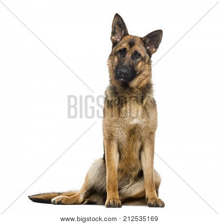 German Shepherd Dog (1 year old)