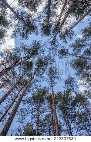 Vertical shot of swaying tops of bare trees in the forest against blue sky
