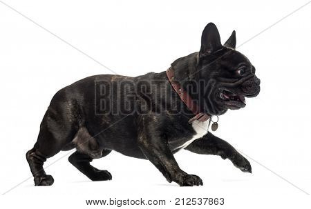 French Bulldog walking and barking, isolated on white (4 years old)