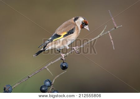 A goldfinch perched on a blackthorn branch in a hedgerow with sloe berries