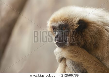 photo of a fluffy yellow monkey with a pensive look