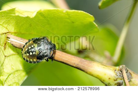 Shield bug - Palomena prasina on the green vine branch close up selective focus