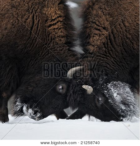 Butting Bison Heads