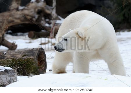 Polar Bear In Snow