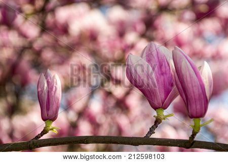 Beautiful Spring Background With Magnolia Flowers
