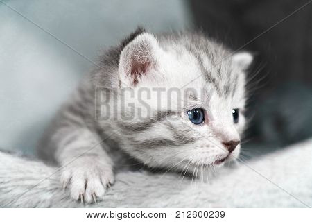 Curious blue eyes are a kitten. The striped kitten peeps out