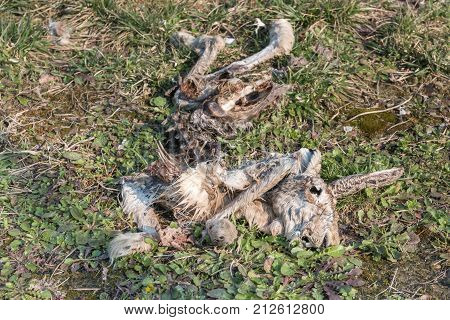 Decomposition of Hare Carcass on Green Field.