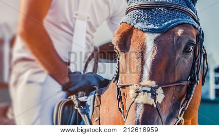 Horse looking straight forward closeup on show jumping field. Sorrel dressage horse and rider in white uniform. Concept for banner, website, poster.