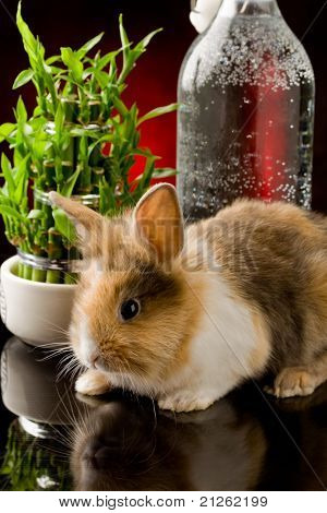 Dwarf Rabbit With Lion's Head On Glass Table