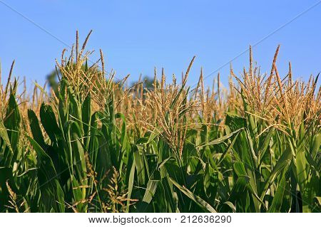Agriculture. Field of corn. Rural farm land in a sunny day of summer. Growing corn is still green. The sky. The sky is a clear and intense blue.