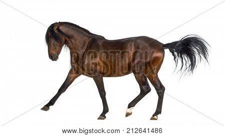 Andalusian horse performing Spanish walk