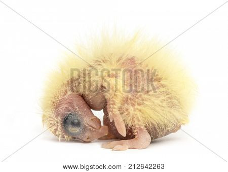 Cockatiel chick - Nymphicus hollandicus (2 days old), isolated on white