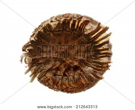 Egg of Tessellated Spiny Flying Stick - Diesbachia tamyris, isolated on white