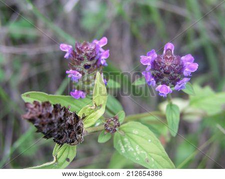 Clinopodium Vulgare, Wild Basil Purple Flowers. Honey And Medicinal Plants In Europe.