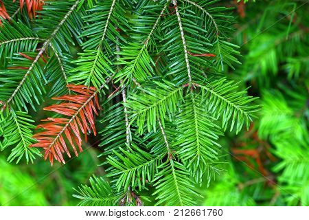 Balsam Fir (Abies balsamea) needles in the Northern Highland-American Legion State Forest of Wisconsin