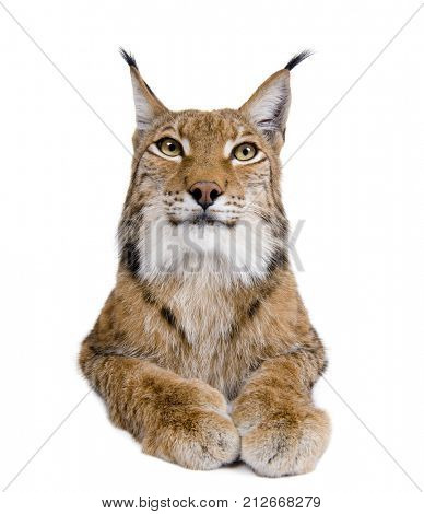 Cropped view of Eurasian Lynx, lynx lynx, 5 years old, in front of white background, studio shot