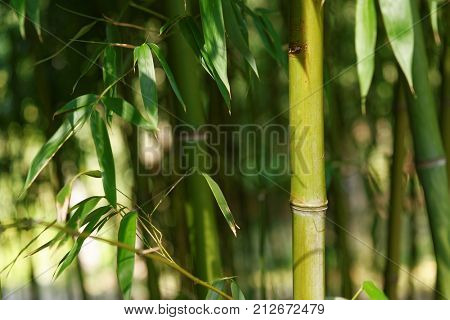 Bamboo stems of a bamboo grove background