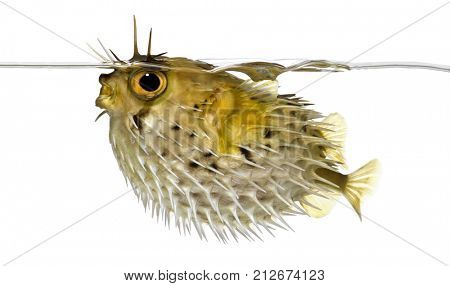 profile on a Long-spine porcupinefish also know as spiny balloonfish just below the waterline- Diodon holocanthus in front of a white background