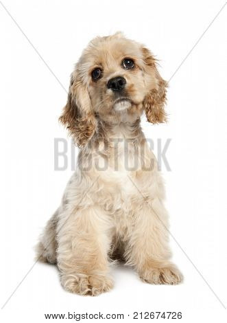 American Cocker Spaniel puppy (4 months old) in front of a white background