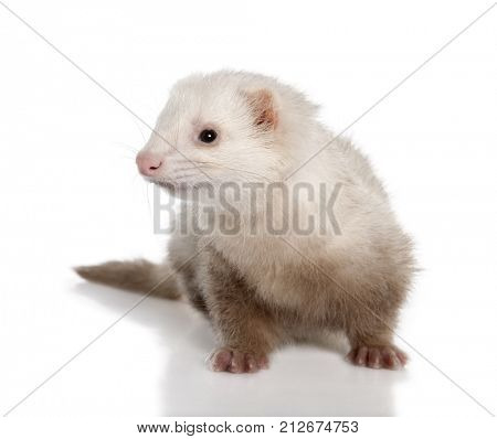 Ferret sitting in front of white background, studio shot