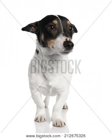 Portrait of Jack Russell Terrier dog standing in front of white background, studio shot