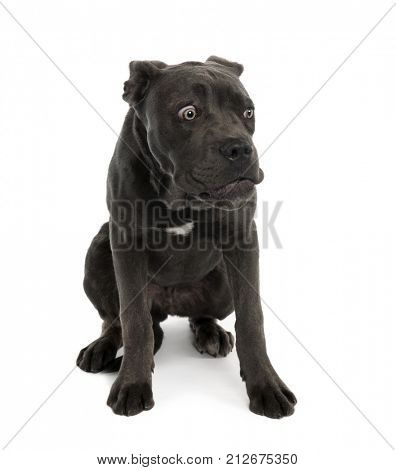 Portrait of black mixed bastard dog with sad face in front of white background, studio shot