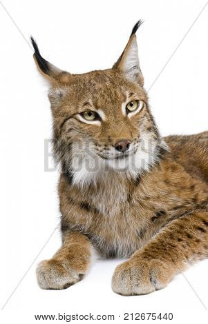 Eurasian Lynx, lynx lynx, 5 years old, sitting in front of white background, studio shot