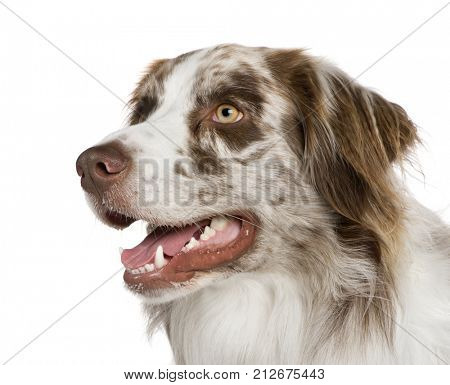 Australian shepherd (11 months) in front of a white background